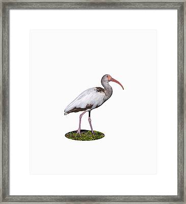 Framed Print featuring the photograph Young Ibis Gazing Upwards by John M Bailey