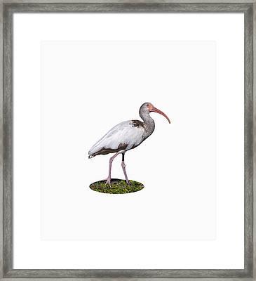 Young Ibis Gazing Upwards Framed Print by John M Bailey