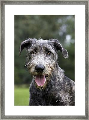 Young Irish Wolfhound Framed Print