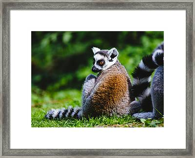 Young Lemur Framed Print