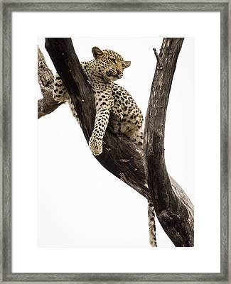 Young Leopard Panthera Pardus In Tree Framed Print by Panoramic Images