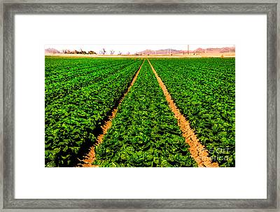 Young Lettuce Framed Print by Robert Bales