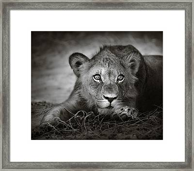 Young Lion Portrait Framed Print