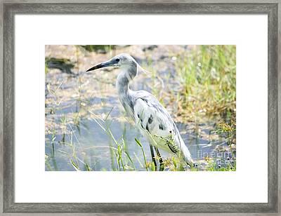 Young Little Blue Heron Framed Print