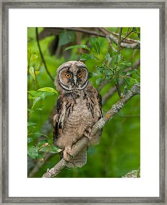 Young Long-eared Owl Framed Print by Janne Mankinen