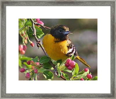 Young Male Oriole Framed Print