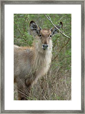 Young Male Waterbuck Framed Print