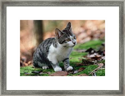 Young Manx Cat Framed Print by James L. Amos