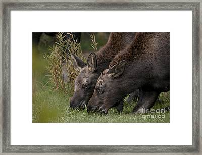 Young Moose Framed Print by Earl Nelson