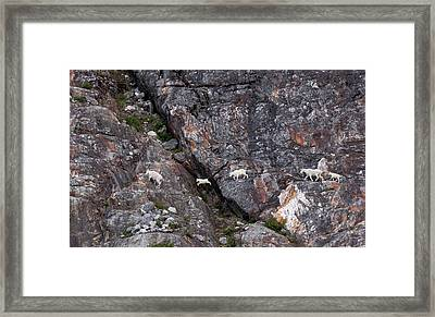 Young Mountain Goat Jumps Framed Print by June Jacobsen