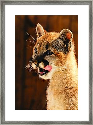 Young Mountain Lion Framed Print