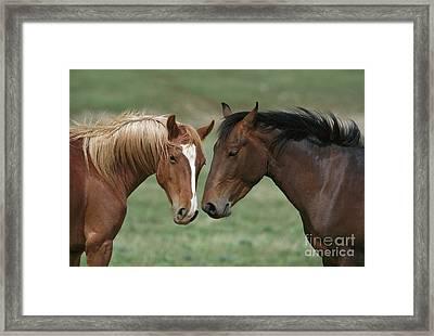 Young Mustang Bachelor Stallions Framed Print by Yva Momatiuk John Eastcott