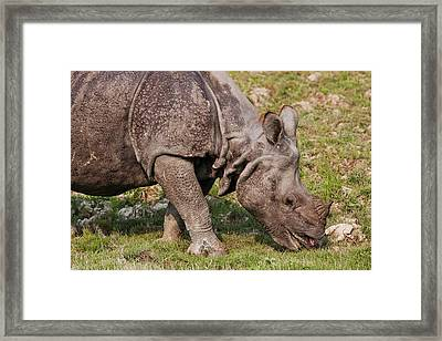 Young One-horned Rhinoceros Feeding Framed Print