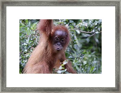 Framed Print featuring the pyrography Young Orangutan Kiss by Shoal Hollingsworth