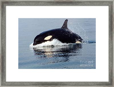 Framed Print featuring the photograph Young Orca Off The San Juan Islands Washington 1986 by California Views Mr Pat Hathaway Archives