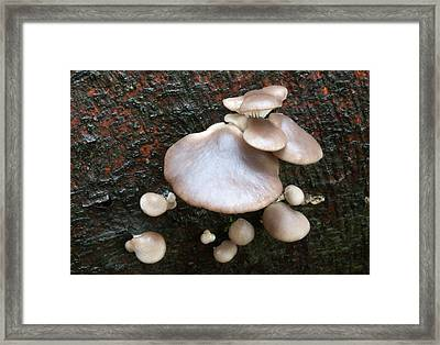 Young Oyster Mushrooms Framed Print by Nigel Downer