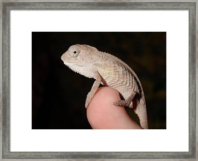 Young Panther Chameleon On A Branch Framed Print by Nigel Downer