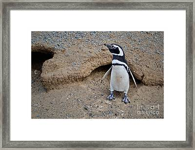 Young Penguin Exploring His World Framed Print