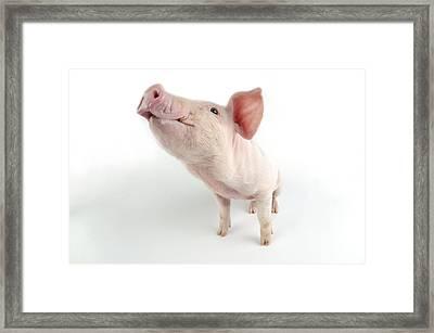 Young Pig Framed Print by John Daniels