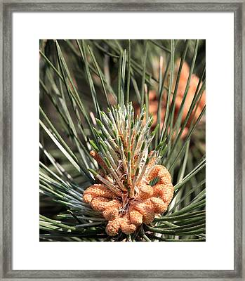 Framed Print featuring the photograph Young Pine Cone  by Ramabhadran Thirupattur