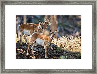 Young Pronghorn At Yellowstone Framed Print
