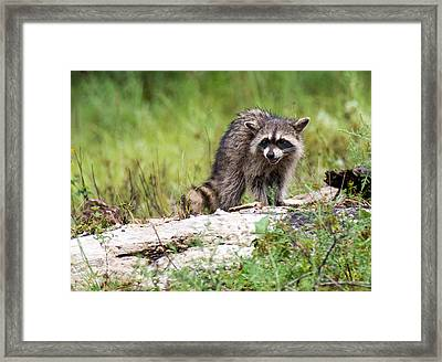 Young Raccoon Framed Print