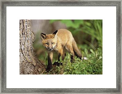 Young Red Fox Kit In Forest Near Golf Framed Print by Doug Lindstrand
