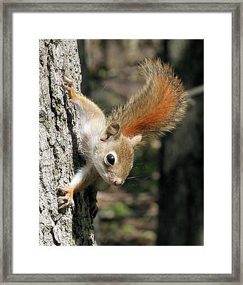 Young Red Squirrel Framed Print
