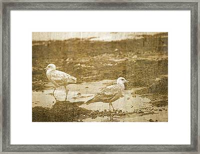 Young Seagulls On Harwich Cape Cod Beach Framed Print by Suzanne Powers