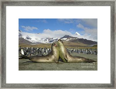 Young S Elephant Seal Playing Framed Print by Yva Momatiuk John Eastcott