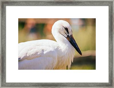 Young Stork Portrait Framed Print by Pati Photography