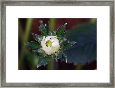 Young Strawberry Framed Print by Lisa Phillips
