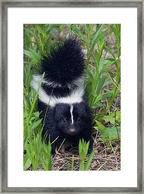 Young Striped Skunk Framed Print