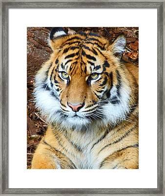 Young Sumatran Tiger Framed Print by Margaret Saheed