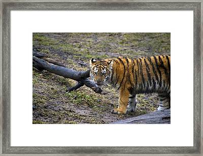 Young Tiger Framed Print by Thomas Woolworth