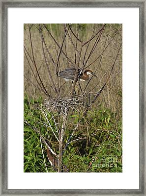 Young Tricolored Heron In Nest Framed Print