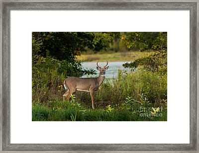 Young White-tailed Buck Framed Print by Linda Freshwaters Arndt