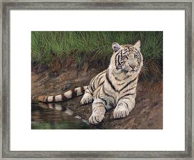 Young White Tiger Framed Print by David Stribbling