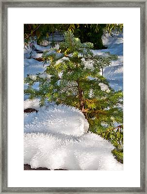 Young Winter Pine Framed Print