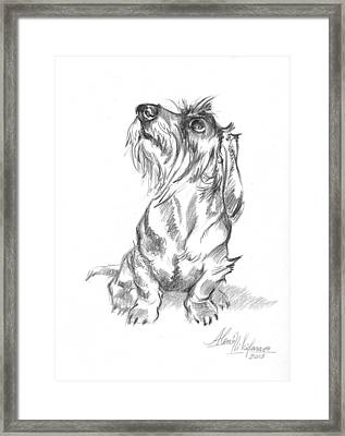 Young Wire-haired Dachshund Looking Up Framed Print