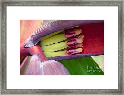 Your Treasure - Mai'a Maoli - Tropical Hawaiian Banana Flower  Framed Print