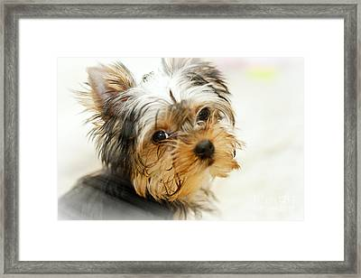 Yourkshire Terrier Puppy Looking  Loveable Framed Print by Jan Tyler