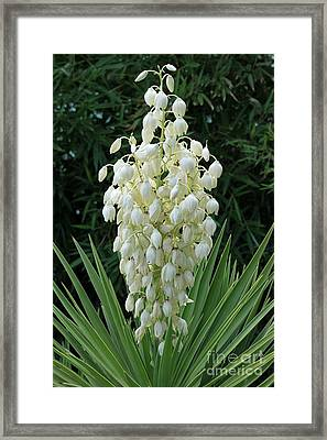Yucca Blossoms Framed Print