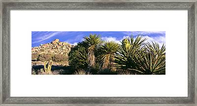 Yucca Plants Blooming In A Desert, Culp Framed Print