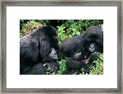 Zaire, Virungas National Park, Virungas Framed Print by Jaynes Gallery