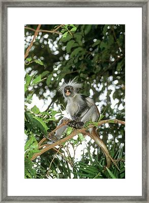 Zanzibar Red Colobus Piliocolobus Kirkii Framed Print by Photostock-israel