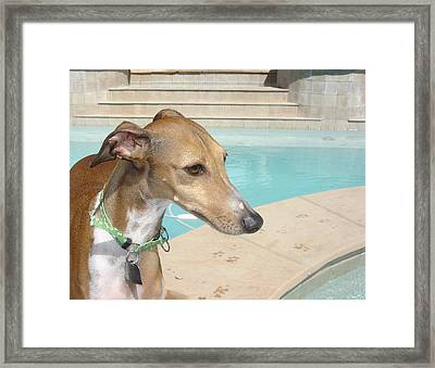 Zappinni By The Poolside - Italian Greyhound Framed Print by Santos Arellano