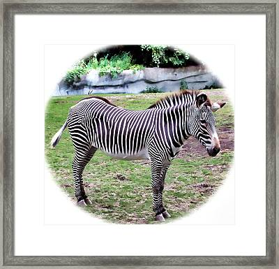 Framed Print featuring the photograph Zebra 1 by Dawn Eshelman