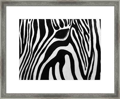 Zebra 13 Framed Print by Jane Biven