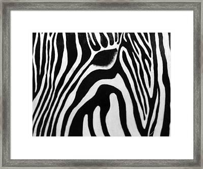 Zebra 13 Framed Print